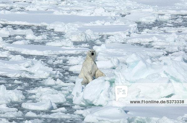 Eisbär auf dem Eis  Svalbard Archipel  Norwegen  Vietnam