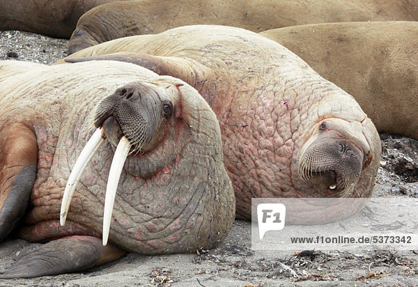 Zusammenliegende Walrosse  Svalbard Archipel  Norwegen  Vietnam