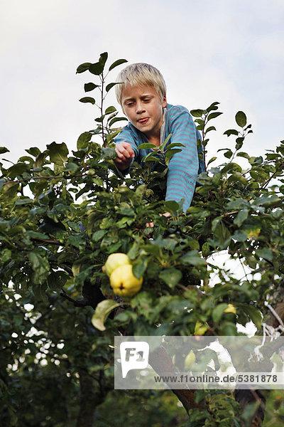 Junge - Person  Baum  Frucht  aufheben