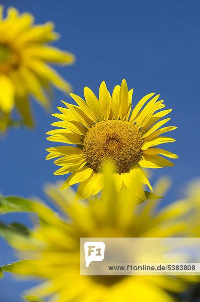 Sonnenblumen (Helianthus annuus) gegen blauen Himmel
