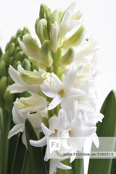 Weiße Hyazinthe (Hyacinthus)