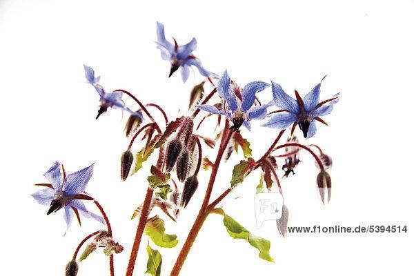 Borretschblüten (Borago officinalis)