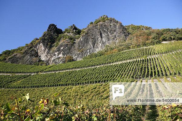 Weinreben  Weinhänge  Weinanbau am Drachenfels  Siebengebirge  Bad Honnef  Nordrhein-Westfalen  Deutschland  Europa