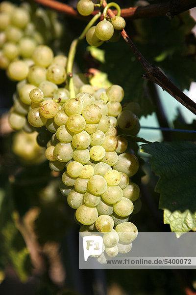 Erntereife Weintrauben  Weinreben  Weinhänge  Weinanbau am Drachenfels  Siebengebirge  Bad Honnef  Nordrhein-Westfalen  Deutschland  Europa