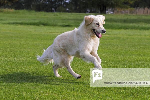 Laufender Golden Retriever  zweijährige Hündin (Canis lupus familiaris)
