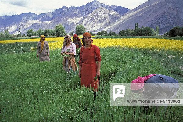 Frauen auf dem Feld  Hunder  Nubra-Tal  Ladakh  indischer Himalaya  Jammu und Kaschmir  Nordindien  Indien  Asien