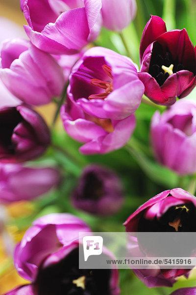 Reihe von Tulpen