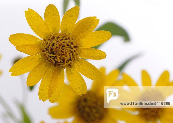 Arnika Blüten