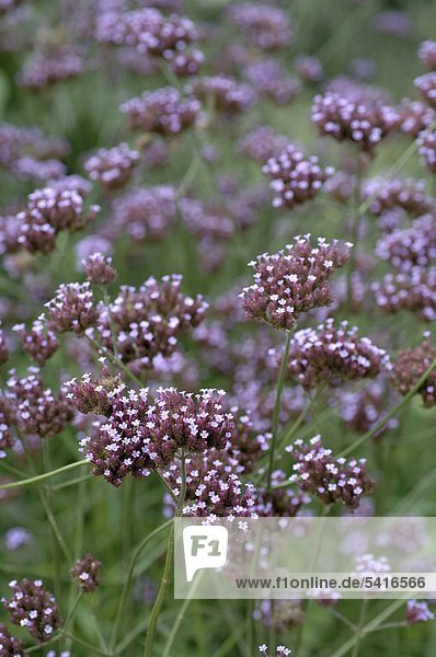 Blooming Valeriana