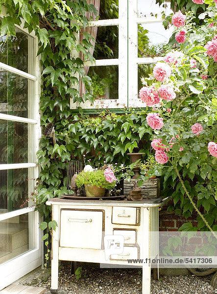 Strauch Terrasse alt Rose