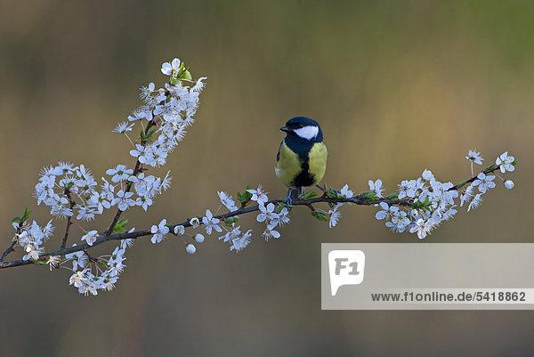 Kohlmeise (Parus major)  auf Schlehdornzweig im Frühling  Norfolk  England  Großbritannien  Europa