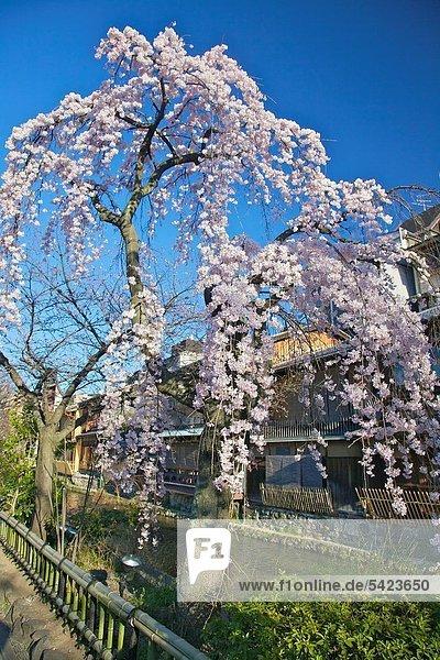 Baum Kirsche blühen voll