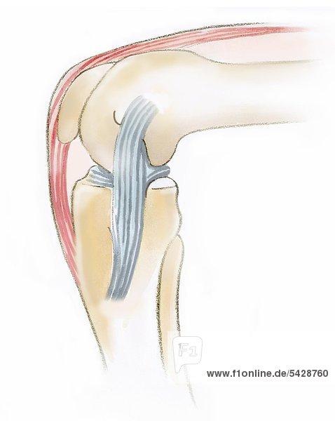 Knie, Knochen und Muskeln gebeugt Knie gebeugt weiss - doc-stock ...