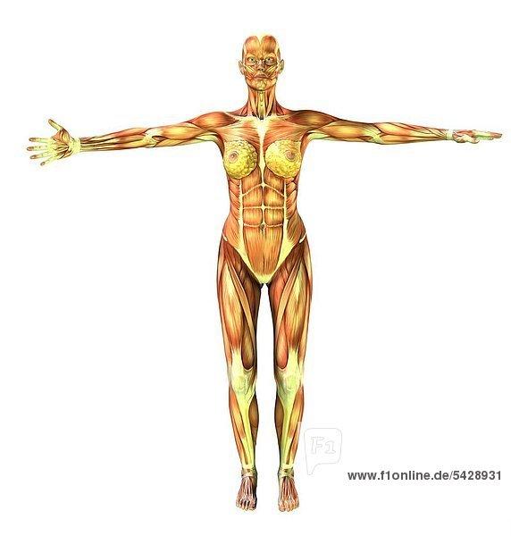 Muskulatur des Menschen am Beispiel einer stehenden Frau ...