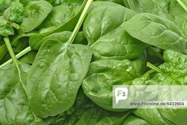 viele geerntete Spinatblätter Lebensmittel - Gemüse - Spinat - Blattspinat - Spinacia oleracea - einjährige Gemüsepflanze - Gartengemüse - frische Blätter - food - vegetable - spinach - fresh leaves - gardenvegetable - Spinacio - Spinat - Gänsefußgewächs - Inhaltsstoffe - Vitamin K - Vitamin C - Betakarotin - Vitamin B - Mineralstoffe - Kalium - Kalzium - Magnesium - Eisen - Mangan - Spinat reichert Nitrat an - beim Wiederaufwärmen kann sich Nitrat in Nitrit umwandeln