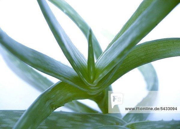 Aloe vera ( Aloe barbadensis ) In der Heilkunde Verwendung als Saft und Extrakt bei Verstopfung ( starkes Abführmittel ) und als Gel zur Wundbehandlung und bei Verbrennungen . Vielfache Verwendung auch in der Kosmetikindustrie . Aloe vera plant