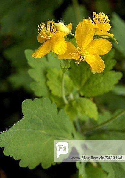Schöllkraut ( Chelidonium majus ) Heilpflanze Verwendete Teile: Sproßteile  Milchsaft Verwendung bei Bronchitis   Keuchhusten   Asthma Krampflösend und entgiftend Auch zur Linderung von Hautkrankheiten