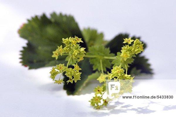 Gewöhnlicher Frauenmantel ( Alchemilla xanthochlora ) Blätter und Blüten gegen Magen-und Darmstörungen- bei starken Menstruationsbeschwerden und Beschwerden während der Wechseljah - ( )