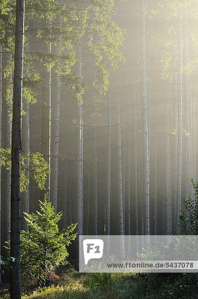 Wald im Morgenlicht Wald im Morgenlicht