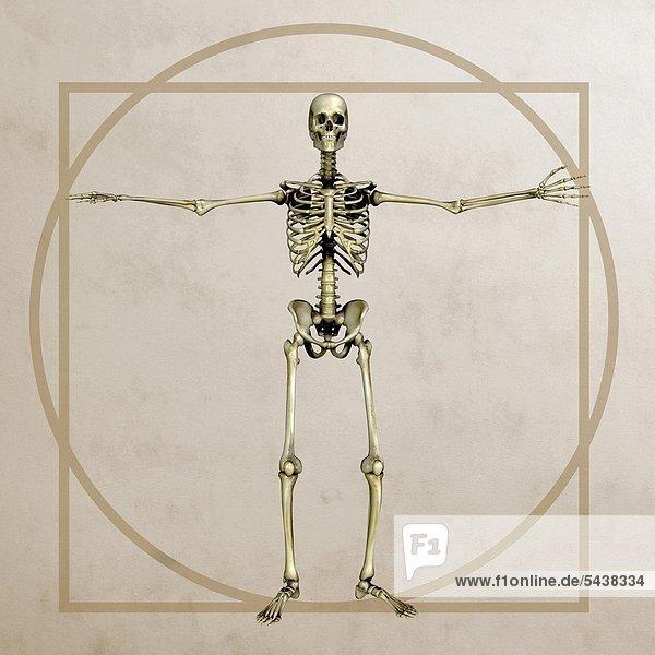 Anatomiegrafik - Männliches Knochenmodell im Stil von Leonardo Da Vincis vitruvianischen Menschen