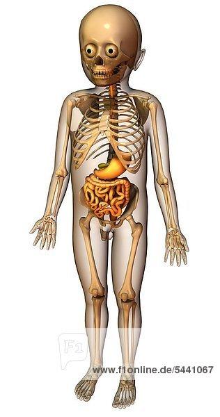 Anatomie Verdauung Skelett fsrl_30_017 - doc-stock ...