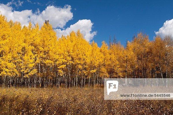 Espe Populus tremula glühend Glut Baum Wachstum Wiese Hain