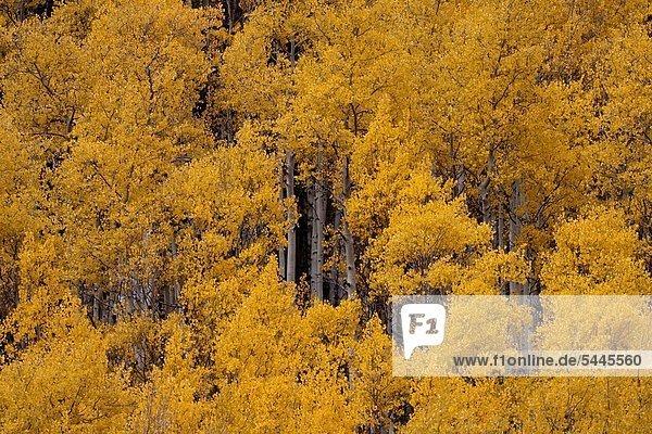 Espe Populus tremula Baum Herbst Flattern Hain