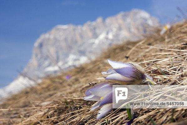 Frühlings-Kuhschelle oder Frühlings-Küchenschelle (Pulsatilla vernalis  Anemone vernalis) vor dem Gipfel des Langkofel or Sassolungo  Dolomiten  Italien  Europa