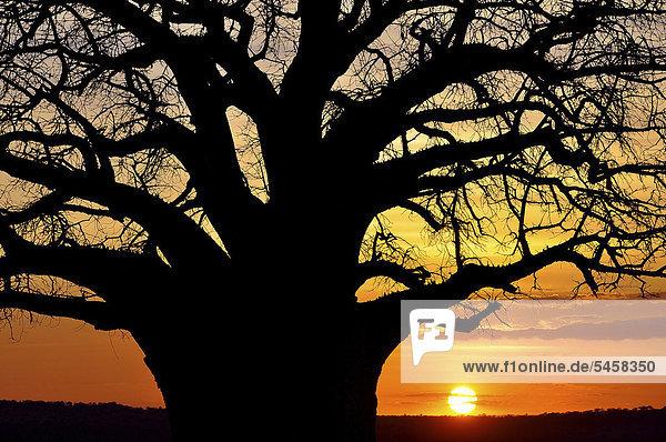 Baobab tree (Adansonia digitata)  Tarangire National Park  Tanzania  Africa