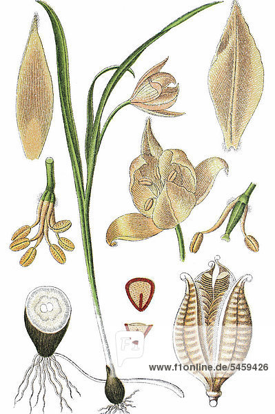 Wilde Tulpe  auch Wald-Tulpe oder Weinberg-Tulpe (Tulipa sylvestris)  Heilpflanze  Nutzpflanze  Chromolithographie  1876