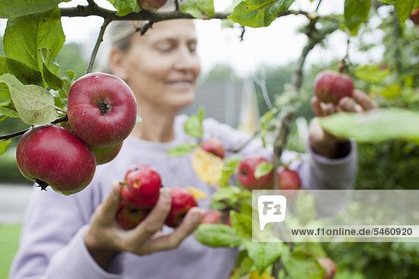 Ältere Frau pflückt Früchte vom Baum