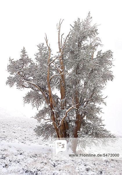 Nadelbaum mit Raureif