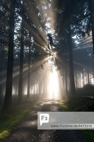 Sonnenstrahlen durchdringen den Morgennebel im Wald  Feldberg im Taunus  Hessen  Deutschland  Europa Sonnenstrahlen durchdringen den Morgennebel im Wald, Feldberg im Taunus, Hessen, Deutschland, Europa