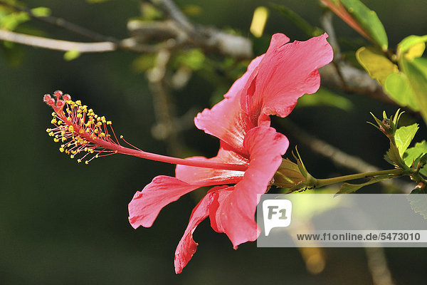 Pink hibiscus (Hibiscus clayi)  Chapada Diamantina  Bahia  Brazil  South America