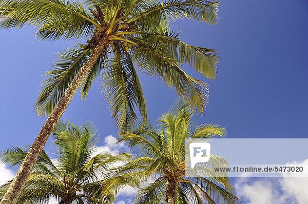"Palm trees on the beach of Vila do Abra""o  Abraao  capital of the Ihla Grande holiday paradise near Rio de Janeiro  Brazil  South America"
