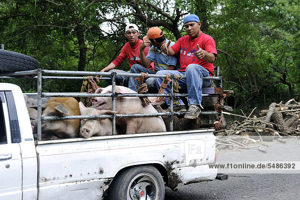 Young people  transport of pigs on a pick-up  El Angel  Bajo Lempa  El Salvador  Central America  Latin America