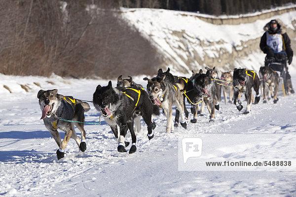 Laufendes Hundeteam auf dem Eis des zugefrorenen Takhini River  Schlittenhunde mit Hans Gatt  dem vierfachen Hundeschlittenführer-Champion  Musher  mushing  Alaskan Huskies am Start des Yukon Quest 2011  ein 1000-Meilen langes internationales Schlittenhundrennen  Whitehorse  Yukon Territory  Kanada