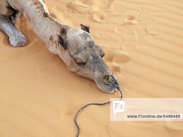 Nordafrika  Marokko  Merzouga  Kamel in der Wüste Erg Chebbi