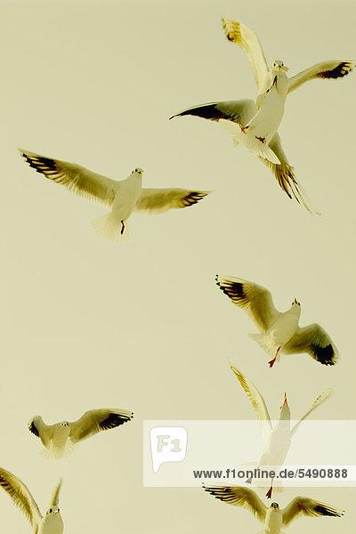 Deutschland  Hamburg  Möwengruppe beim Fliegen im Himmel