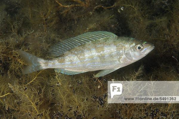Schnauzenbrasse  Laxierfisch (Spicara smaris)  Schwarzes Meer  Halbinsel Krim  Ukraine  Osteuropa
