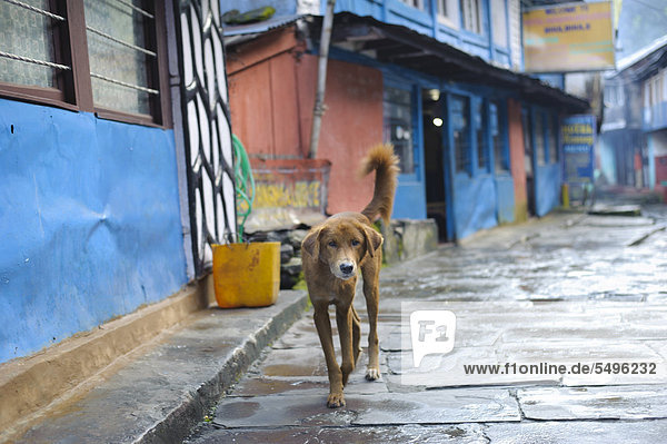 Dog in the street of the village of Bhubhule that is a popular starting point for trekking tours  Lamjung  Nepal  South Asia  Asia
