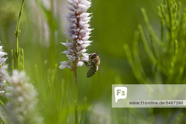 Biene (Apis sp.) beim Sammeln von Pollen auf einem Wiesen-Knöterich oder Schlangen-Knöterich (Polygonum bistorta)  Deutschland  Europa