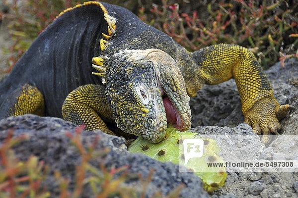 Galapagos land iguana (Conolophus subcristatus) feeding on prickly pear  Galapagos  Ecuador  South America