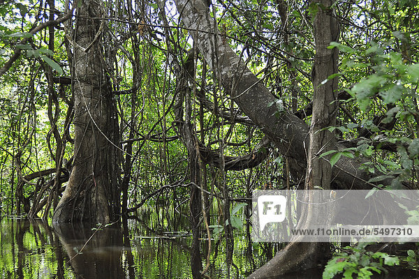 Flooded rain forest on a distributary of the Amazon River  Mamiraua Nature Reserve  Amazonas  Brazil  South America