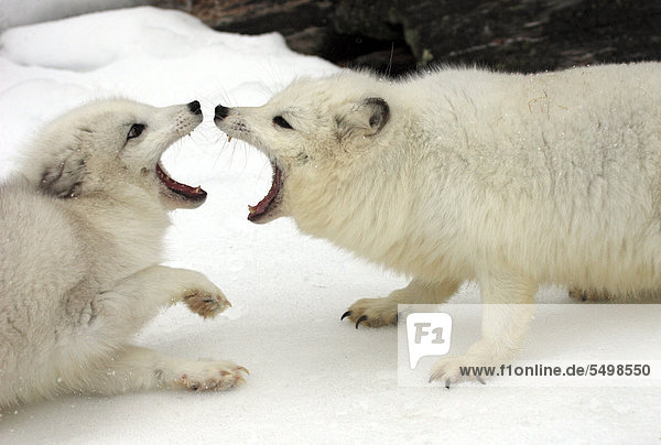 Zwei Eisfüchse  Polarfüchse (Vulpes lagopus  früher Alopex lagopus)  adult  kämpfend  Sozialverhalten  Schnee  Montana  Nordamerika  USA