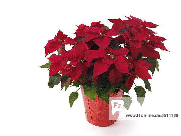 Weihnachtsstern (Euphorbia pulcherrima) im Blumentopf