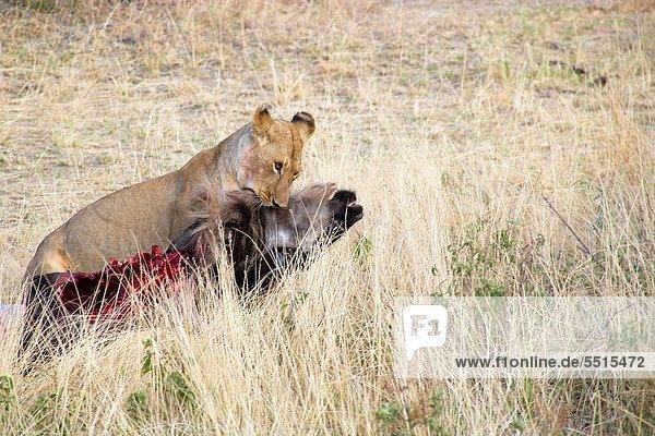Pampashase  Dolichotis patagonum  Löwe  Panthera leo  ziehen  Kadaver  Masai  Gnu