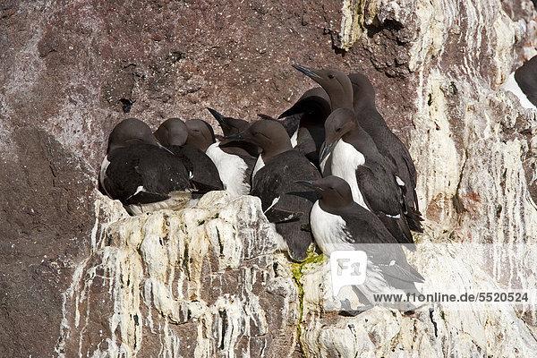 Common Murre or Common Guillemot (Uria aalge)  breeding colony on the rocks  Latrabjarg  Westfjords  Iceland  Europe