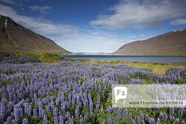 Isafjoer_ur  Nootka Lupine (Lupinus nootkatensis)  Iceland  Europe