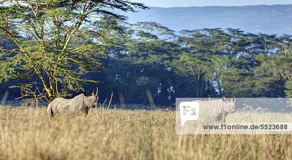 Spitzmaulnashörner (Diceros bicornis)  Lake-Nakuru-Nationalpark  Kenia  Ostafrika  Afrika  ÖffentlicherGrund